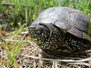 Sumpfschildkröte / Achim