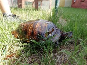 Wasserschildkröte / Etelsen
