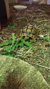 Schildkröte/ Langwedel
