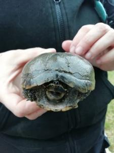 Moschusschildkröte / Dauelsen